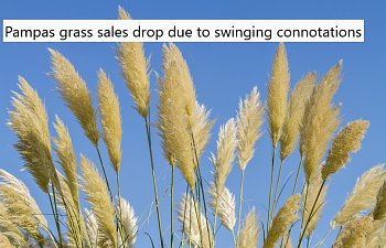 Pampas Grass Sales Drop Due To Swinging Connotations